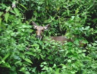 Deer in Chitwan
